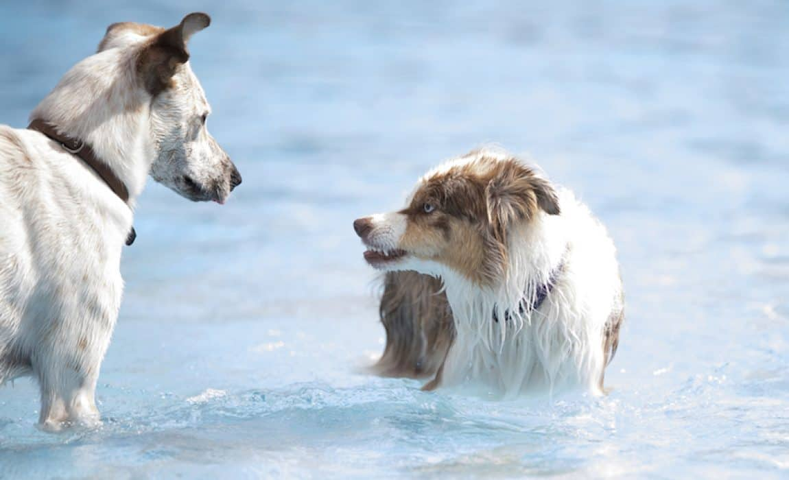 How to Socialize An Adult Aggressive Dog: It's Not Too Late!