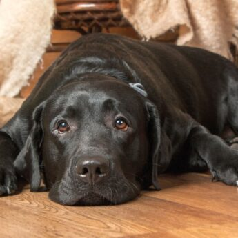 how to spot canine joint pain