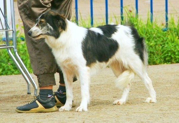 atlas mountain dog