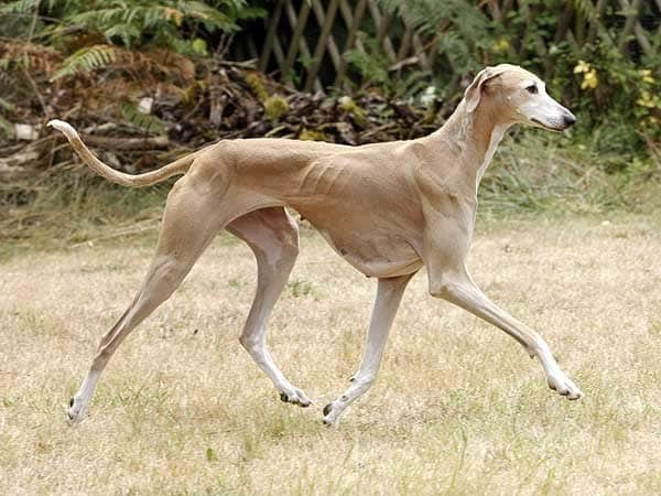 The Azawakh Pronounced Oz Ah Wok Is A Bit Of Rare Breed You Wont Encounter Very Often At Local Dog Park This Shame As These African Dogs Can