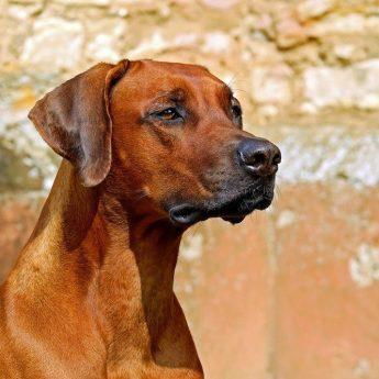 african-dog-breeds