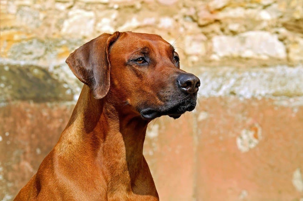 10 African Dog Breeds Exotic Canine Companions