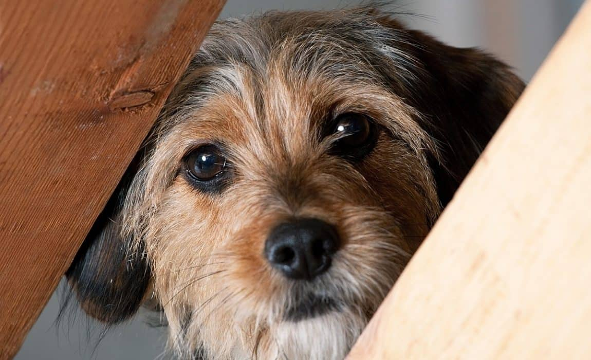 Trazodone For Dogs: Can I Give My Dog Trazodone For Frazzled