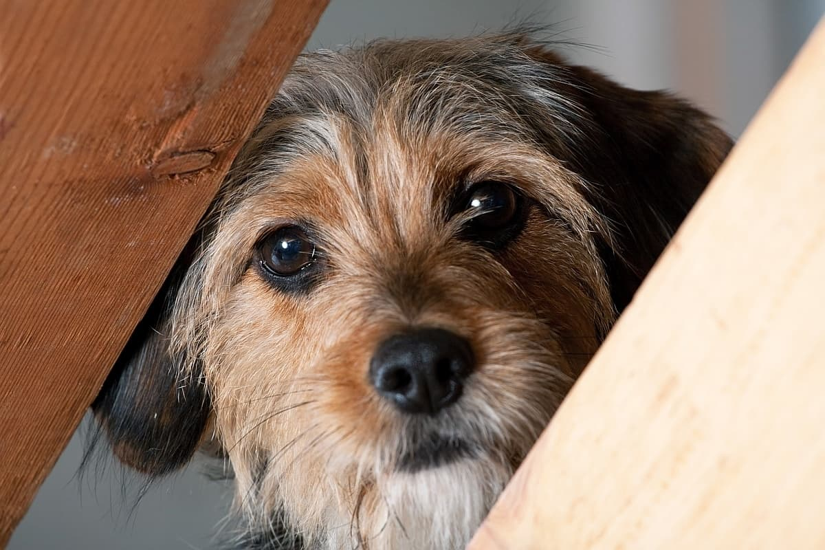 Trazodone For Dogs: Can I Give My Dog Trazodone For Frazzled Nerves?