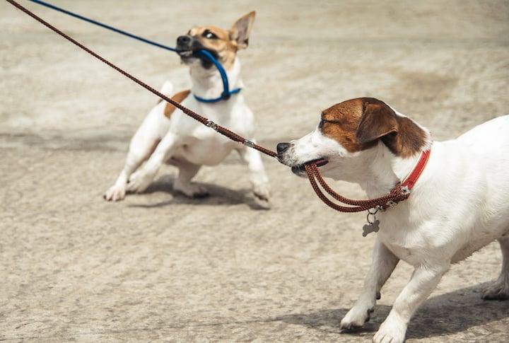 anti-chew-dog-leashes