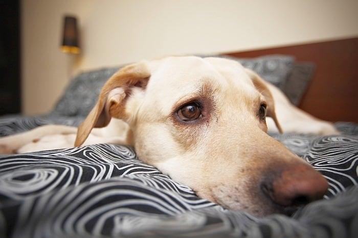 dog depression following operation