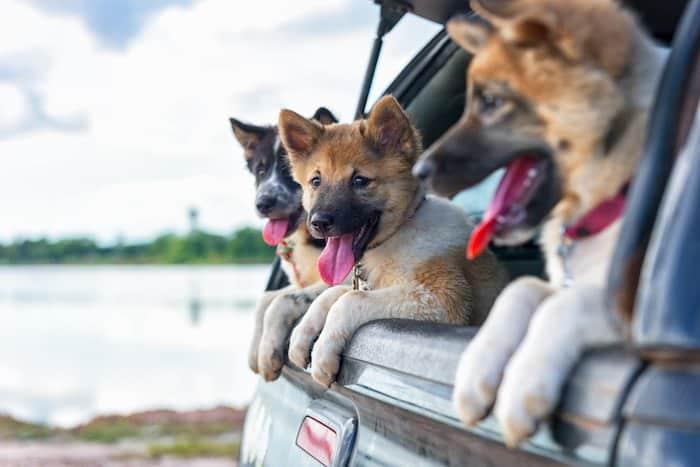dog transfers