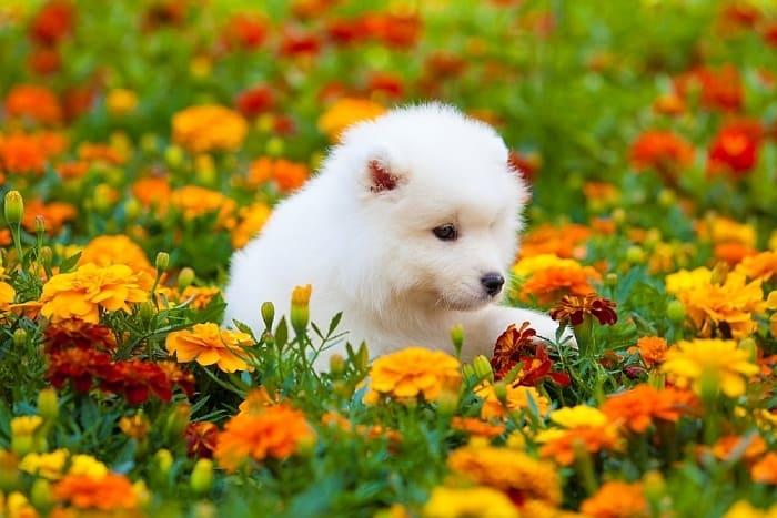 Price of Samoyed Puppy