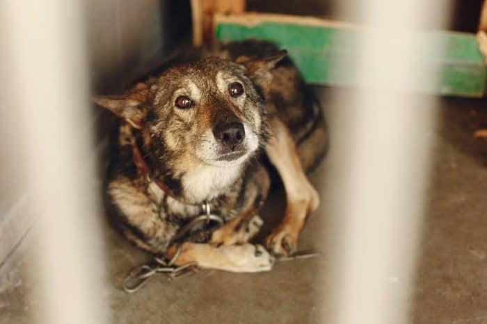 scared caged dog