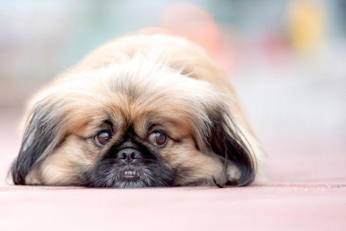 Chinese Dog Breeds Pekingese