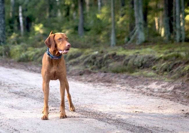 Vizsla-Dog