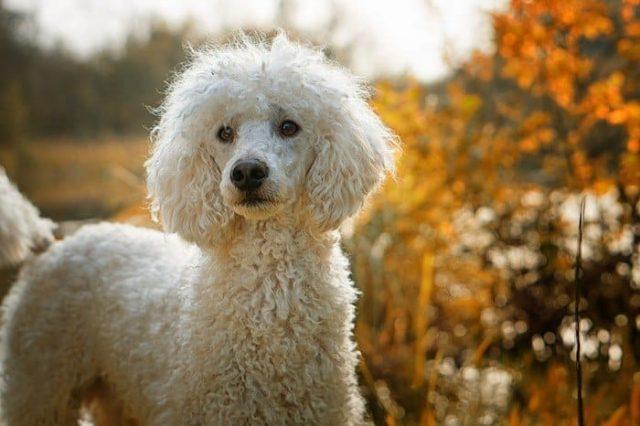 poodle white dog