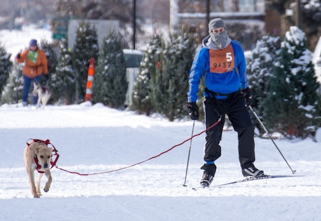 skijoring-dogs