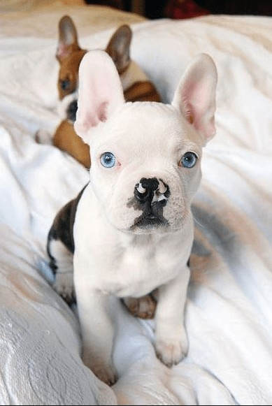 French Bobulldog