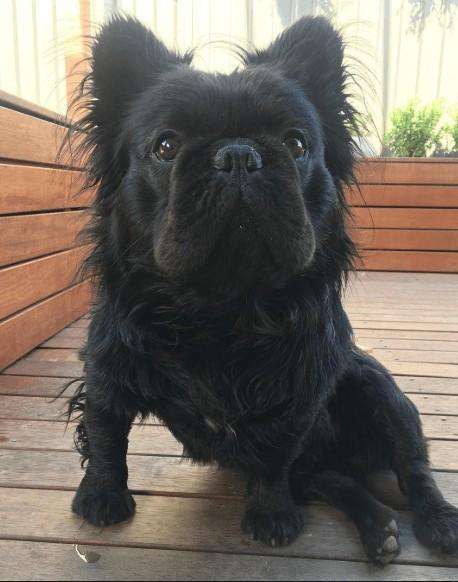 French Pomerdog