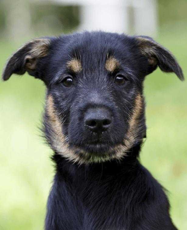German Shepherd Schnauzer Mix