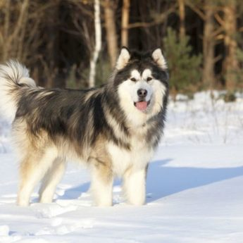 Great Dogs for Cold Climates