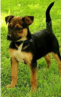 Jack Russell-German Shepherd