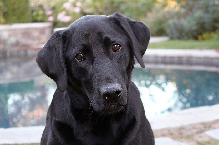 Labrador Retrievers can get hip dysplasia