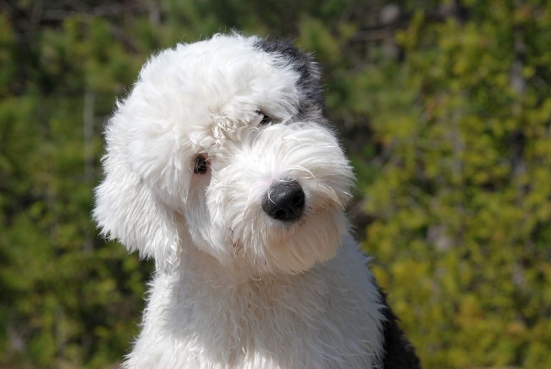 Sheepdog for Autistic Kids