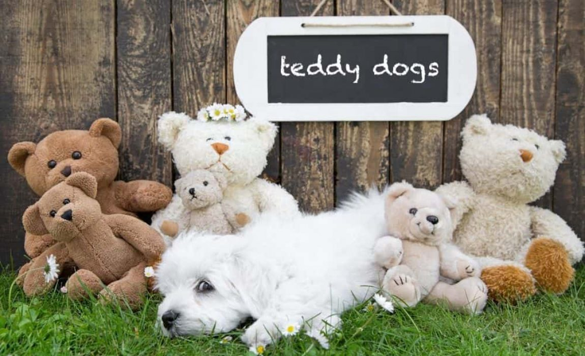 12 Teddy Bear Dog Breeds Canines That Look Like Stuffed Animals