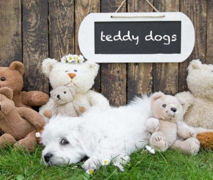 teddy bear dog breeds