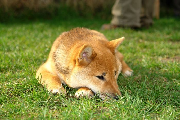 What Kind of Grass for Dogs