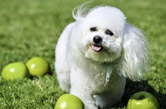 bichon-teddy-bear-dog