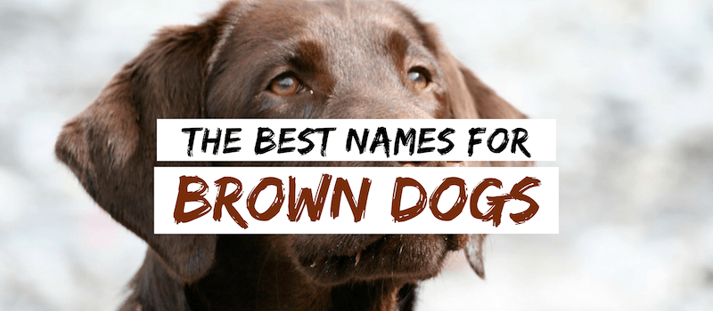 80 Brown Dog Names Name Ideas For Your Chocolate Canine