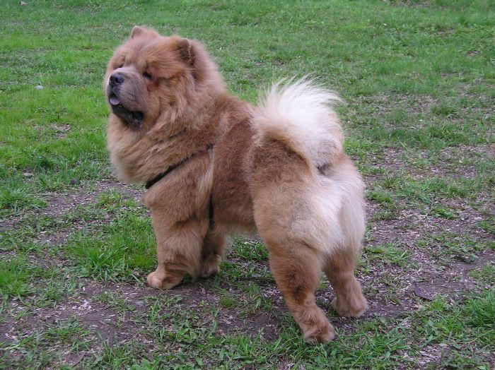 chow-chow-teddy-dog