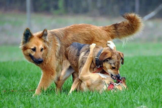 dogs-playing-fighting