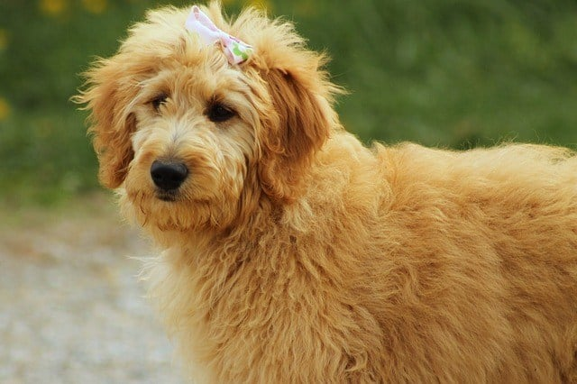 goldendoodle-teddy