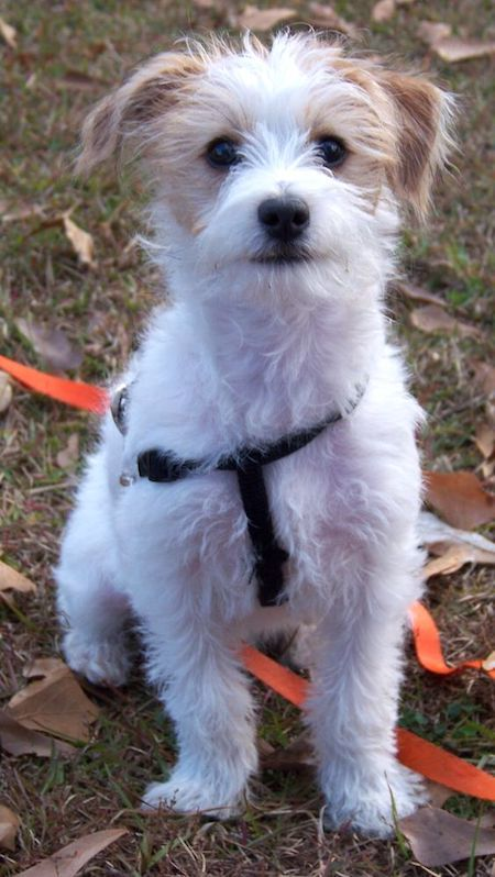 jack-russell-poodle-mix