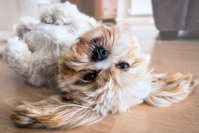 lhasa-apsos-teddy-dog