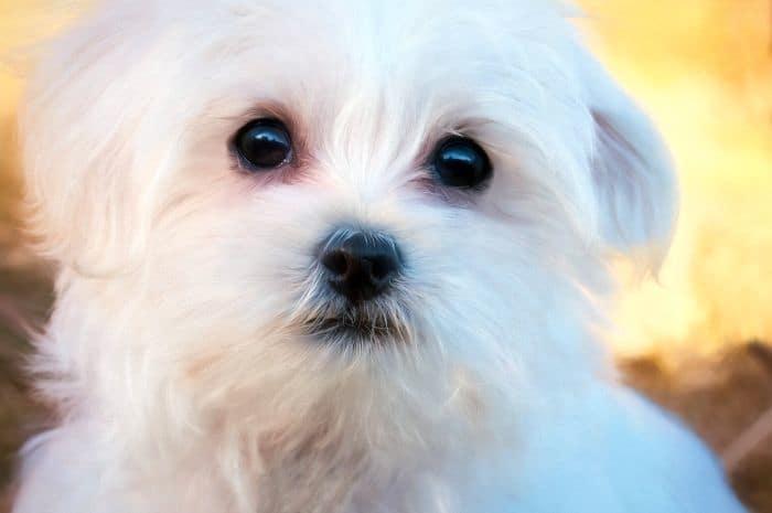 maltese-teddy-dog