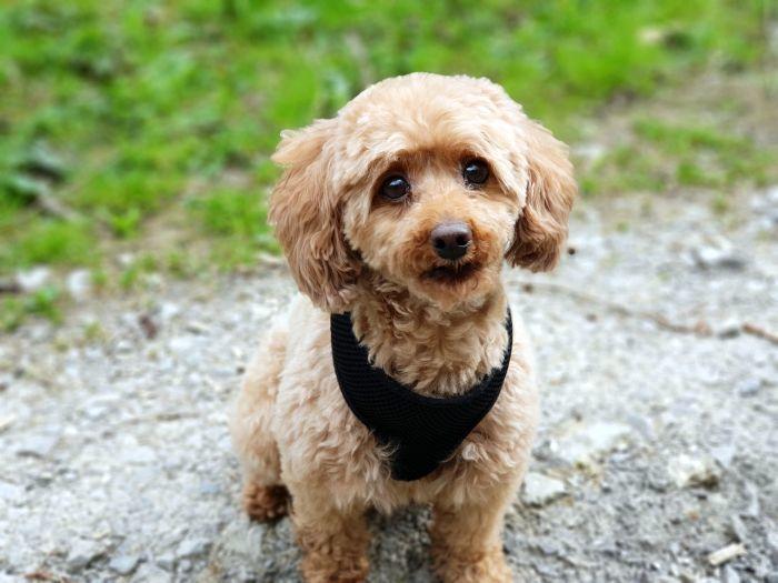 poodle-teddy-dog