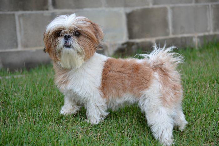 shih-tzu-teddy-dog