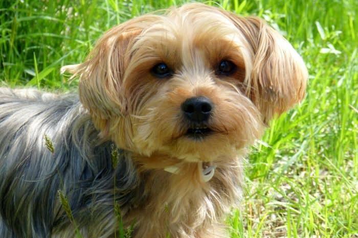 yorkshire-terrier-teddy-dog