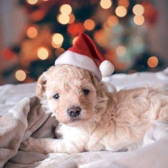 christmas-dog-names