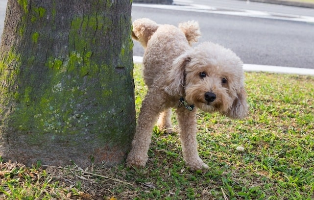 puppy peeing