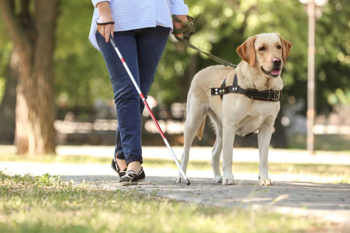 10 Best Breeds For Service Dogs Ptsd Anxiety Amp Other Therapy Work