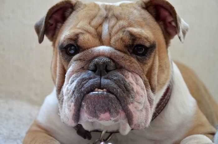 High-dollar dog breeds
