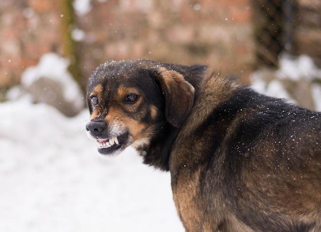 aggressive puppy mill dog