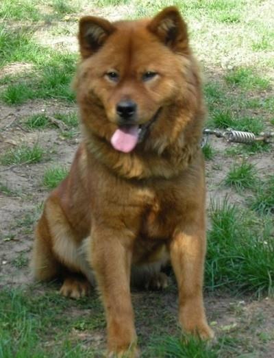 akita chow mixed breed