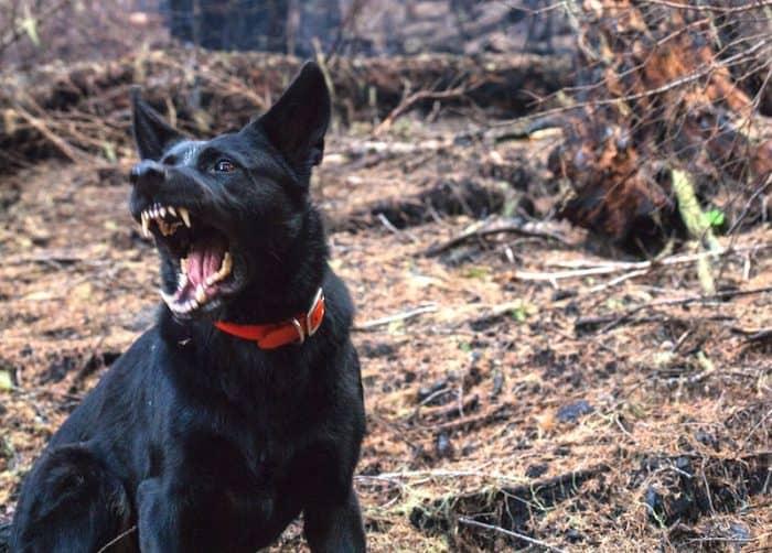 angry-dog-barking
