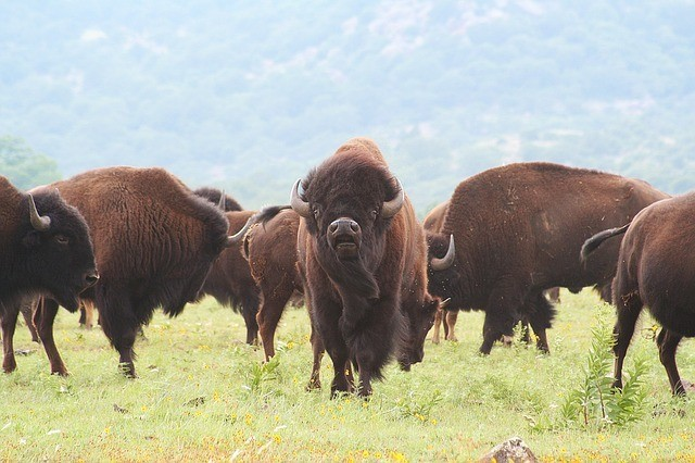 bison-dog-meat