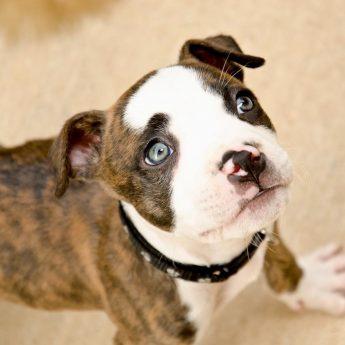 brindle-dog-names