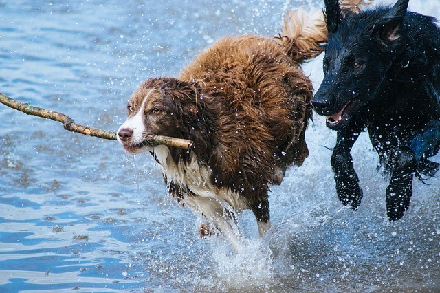 dog-companion