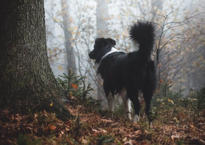 dog-in-the-woods