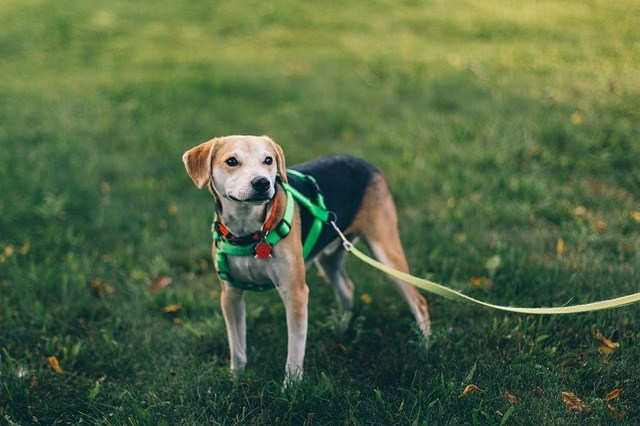 dog-peeing-grass